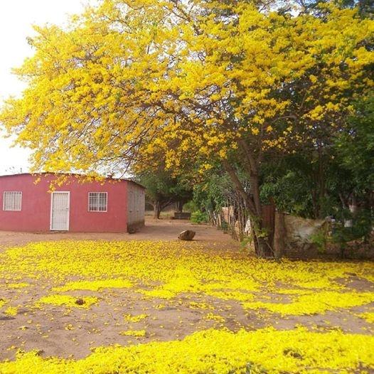 Nuestros seguidores comparten sus fotos de los árboles vestidos de flores amarillas
