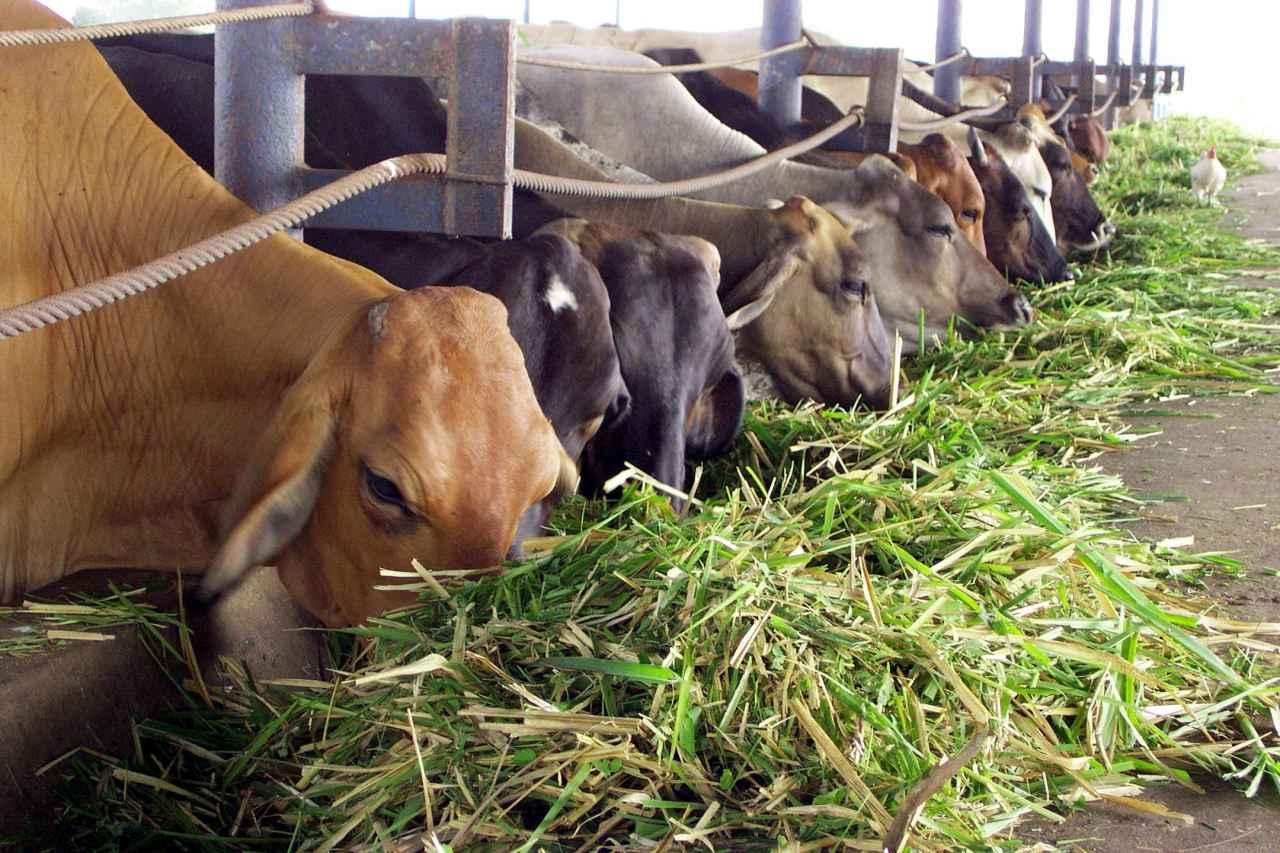 1500433708_Vacas-fiebre-aftosa-Versión-Final.jpg