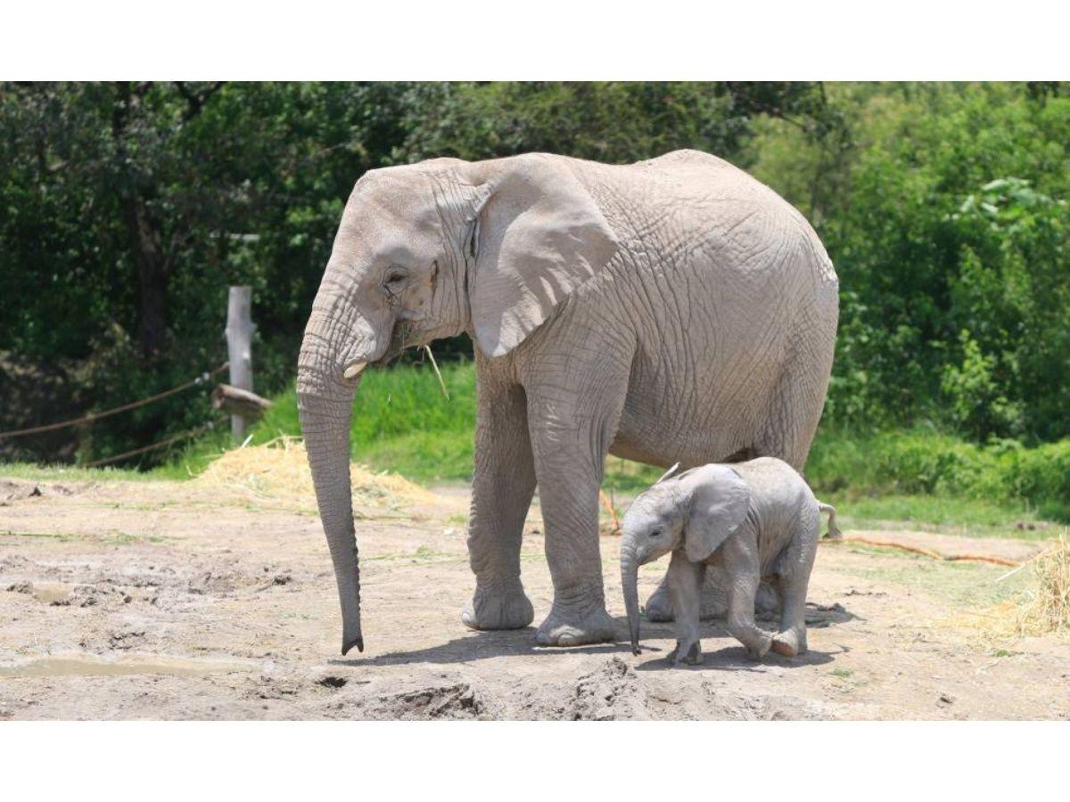 Nació elefante africano en México; sus padres fueron rescatados en Namibia