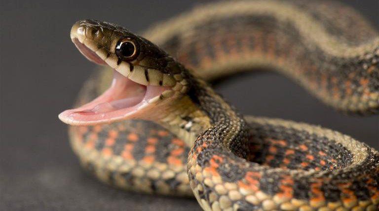 Lluvia de esta mañana despertó la furia de las serpientes: Ocho casos ingresaron a hospitales zulianos